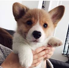 cutest corgi puppy. Delighful Puppy Corgi Puppies Are The Cutest  Intended Cutest Puppy Y