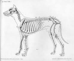 realistic dog drawing step by step.  Drawing Dog Anatomy Skeleton With Realistic Drawing Step By A