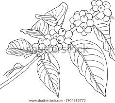 Choose your favorite coffee plantation designs and purchase them as wall art, home decor, phone cases, tote bags, and more! Coffee Plant Drawing At Getdrawings Free Download