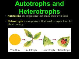 Photosynthesis Autotrophs And Heterotrophs Autotrophs Are Organisms