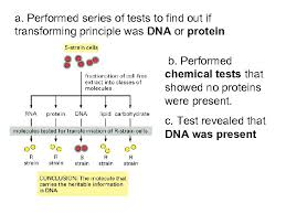 Performed series of tests to find out if transforming principle was dna or protein b. Unit 8 Chapter 8 From Dna To