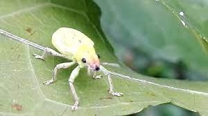 ด้วงค่อมทอง - Snout beetle - YouTube