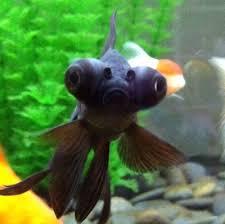 petsmart black goldfish. Beautiful Petsmart Bubble Eye Goldfish Petsmart  Photo15 To Petsmart Black Goldfish H