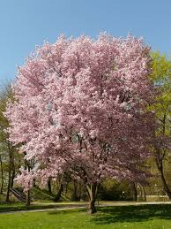 olive garden catering flowering cherry tree cherry blossom tree blossom flower flower