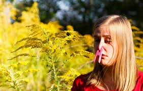 allergy archive the ent institute an ode to ragweed allergies
