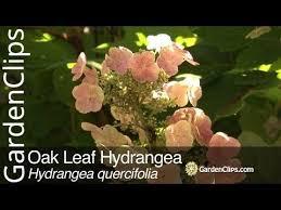 oak leaf hydrangea hydrangea