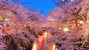 Japanese Garden Cherry Blossom ...