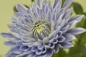 Rhs Colour Chart Amazon Scientists Create The Worlds First Blue Chrysanthemum