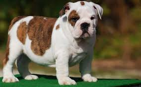 English Bulldog Weight Chart In Pounds Popular Types Of Bulldogs Modern And Extinct Breeds