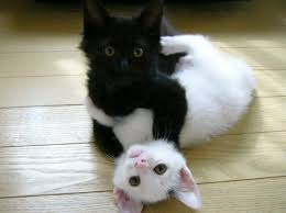 black and white kittens. Wonderful Kittens FileCuuute Black And White Kittensjpg In Black And White Kittens I