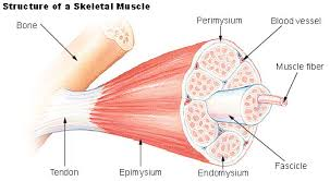 Difference Between Cardiac Skeletal And Smooth Muscle