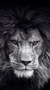 lion wallpaper black and white. Simple White Lion Black And White Wallpaper Inside C