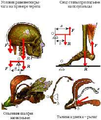 Простые механизмы Рычаги в живой природе