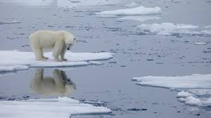 If you're a polar bear, your location may foretell your future » Yale  Climate Connections