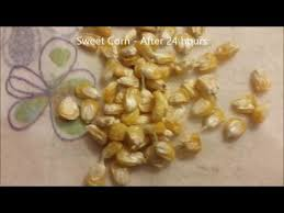 How To Germinate Flower Seeds Paper Towel Homesteading Seed Germination With Paper Towel Method Update