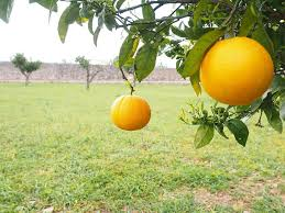 orange fruit orange tree citrus