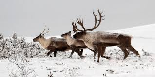 Rescuing Reindeer: Caribou on the Brink • The National Wildlife Federation Blog : The National Wildlife Federation Blog