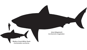 Shark Size Comparison Chart How Big Are Great White Sharks Smithsonian Ocean