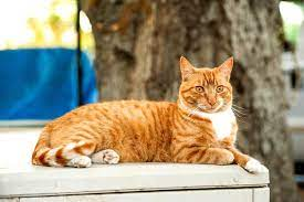 orange tabby cats facts lifespan
