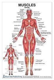 Muscles Female Poster 24x36inch For Physical Fitness Working Out Muscular System Anatomical Chart