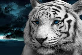white tiger wallpaper hd 1080p. Fine White 1000 Images About White Bengal Tigers On Pinterest  Eyes  Inside Tiger Wallpaper Hd 1080p