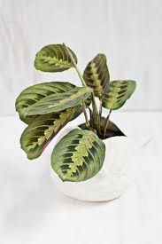 view in gallery prayer plant in a white pot