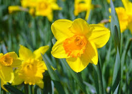 average american flower size daffodils how to plant grow and care for daffodil flowers the