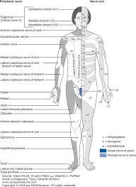 Dermatome Chart Cutaneous Innervation The Segmental Or