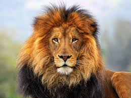 764 lion wallpapers lion backgrounds