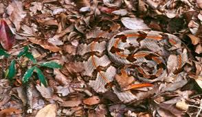 Venomous Snakes Of North Carolina Worldatlas Com