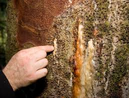 Image result for common tree sickness symptoms