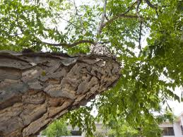 In fact, it seems to thrive in these conditions. Kentucky Coffeetree Taddiken Tree