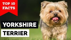 yorkshire terrier top 10 facts toy dog
