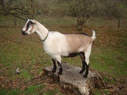 Dairy Goat Breeds 15 Famous Goat Breeds To Raise For Milk Meat And Fleece