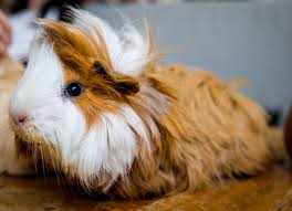 your guinea pig cage