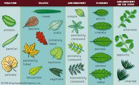 Leaf Definition Parts Function Britannica