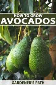 Avocado Tree Size Chart How To Grow Avocados Gardeners Path