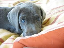 puppy weimaraner puppy puppy on bed puppy with blue eyes blue puppy