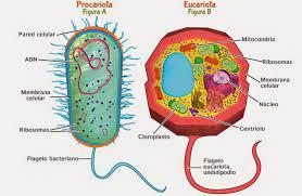 Qué Son Las Células Eucariotas Y Qué Son Las Células Procariotas By Adrian Mederos Medium