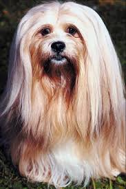 Lhasa Apso Diet Chart When Is A Lhasa Apso Dog Fully Grown Pets