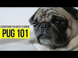 <b>Pug</b>   <b>Dogs</b> 101 - YouTube