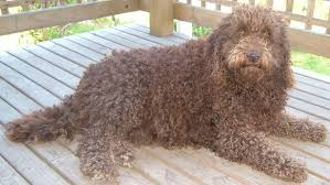 Small Picture Labradoodle Pictures Pictures of Labradoodles