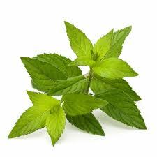 Resultado de imagem para stevia pflanze