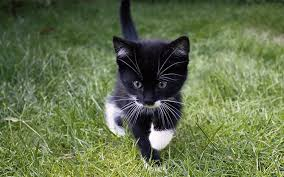 black cats with blue eyes and white paws.  Black Best Black And White Cat Names For Black Cats With Blue Eyes And White Paws