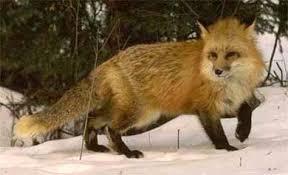 Лисица обыкновенная лиса canis vulpes рыжая мех зверофермы  Лисица обыкновенная Лиса Патрикеевна