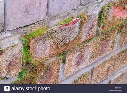 exterior brick wall crumbling. effects of frost shattering on a moss-covered house brick, showing the outer layer crumbling away from brick. exterior brick wall