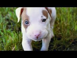 terrier pitbull puppies. Beautiful Puppies 60 Seconds Of Cute American Pit Bull Terrier Puppies Intended Pitbull Puppies B