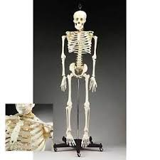 Details About Anatomical Chart Company Budget Bucky Skeleton Stand