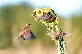 how to keep birds away from garden. How To Keep Birds Away From Garden Sparrows Taking The Seeds A Sunflower This Is