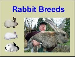 Rabbit Breeds List Breeds Of Rabbits Chart Info Photos